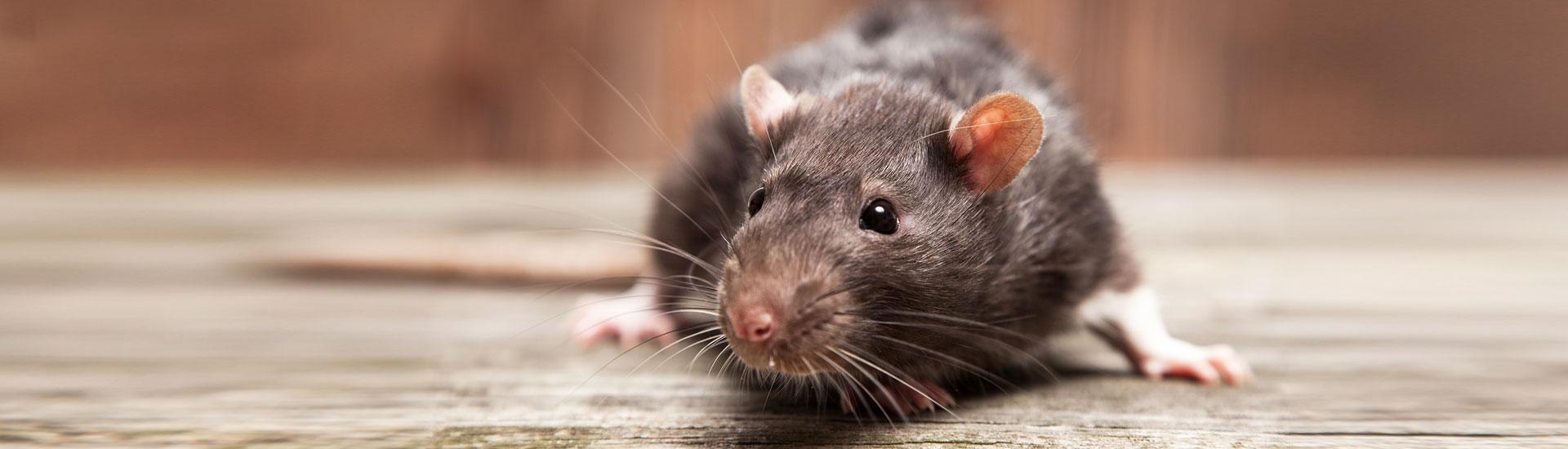 AB Prokill, gestion permanente de nuisibles (insectes, taupes, pigeons, rats) en Belgique comme à l'étranger